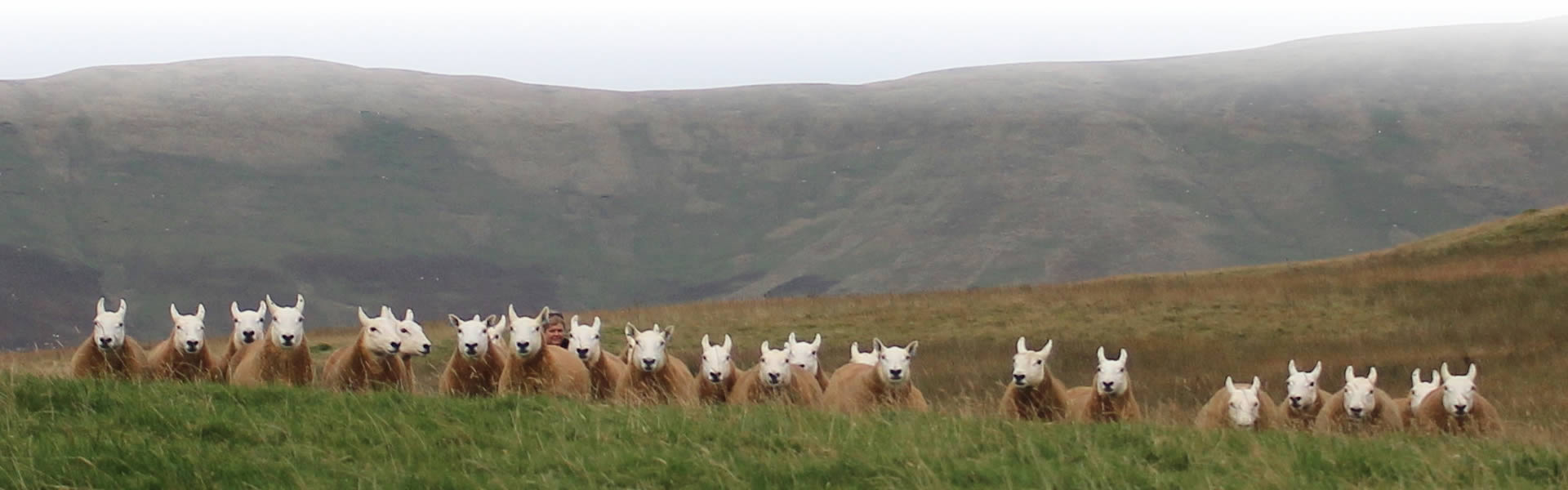 Cheviot Sheep Scottish Borders