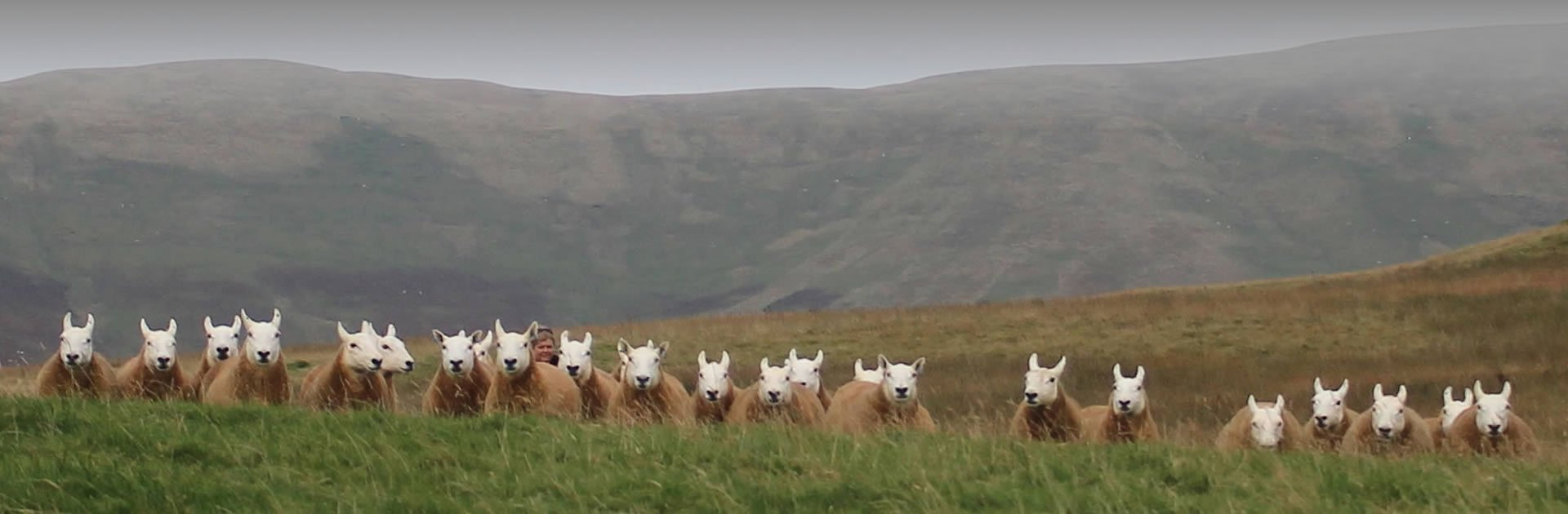 Cheviot Sheep Society Scottish Borders