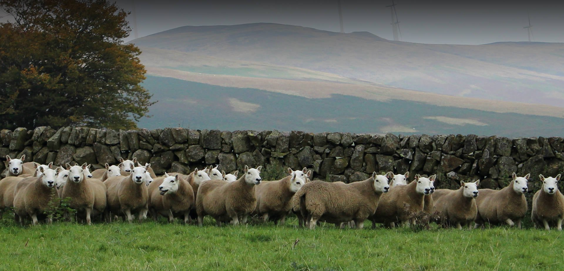 Cheviot Sheep Society Uk