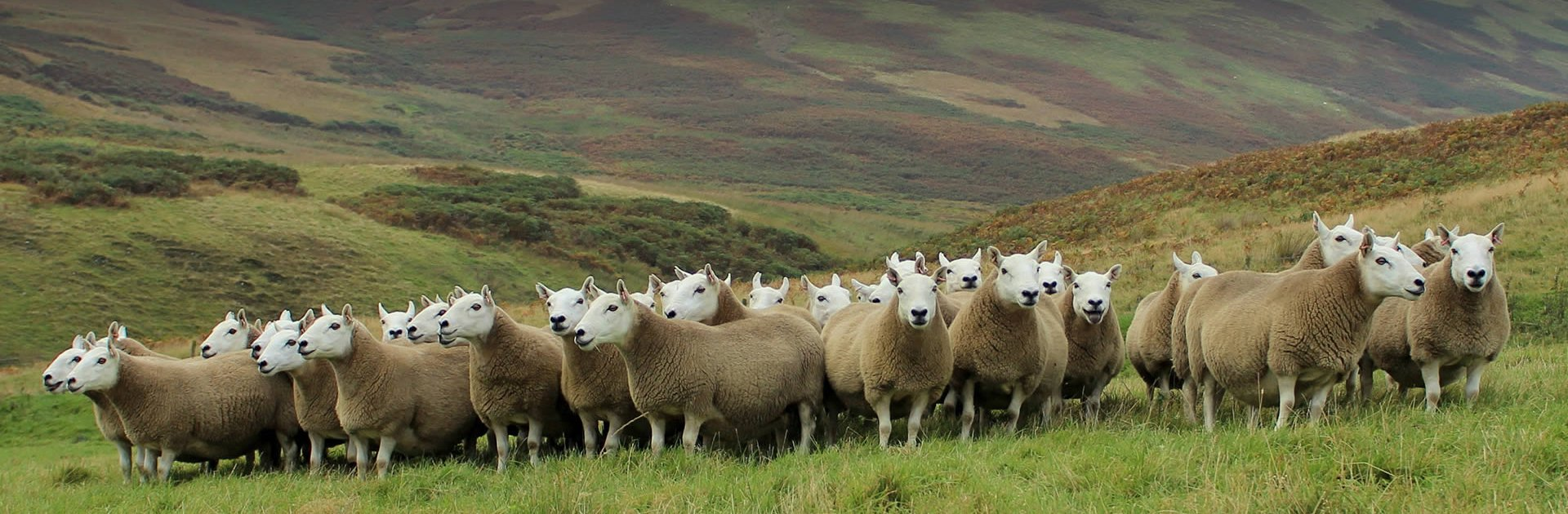 Cheviot Sheep Society